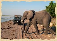 Elefant im Chobe Nationalpark in Bostwana