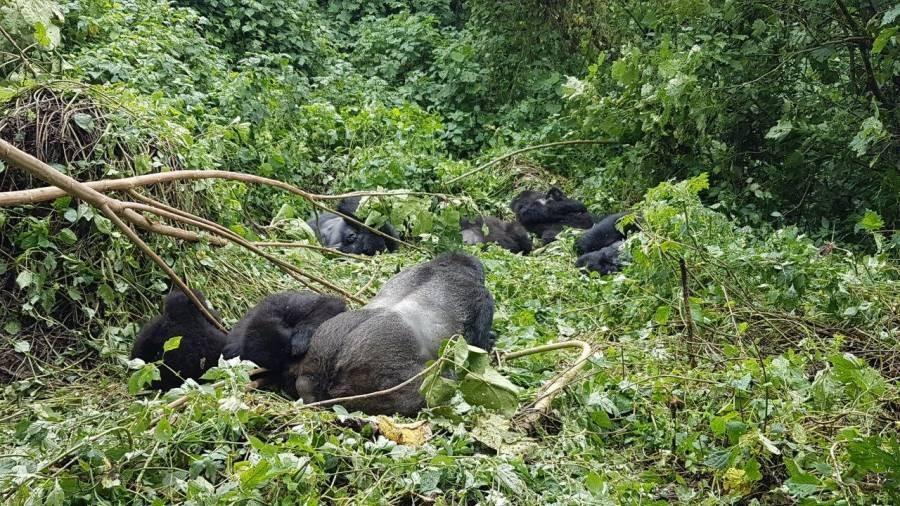 1c-bei-gorillas
