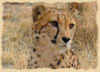 Gepardeprojekt beim Cheetah Conservation Fund